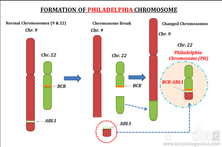 9,22 translocation which results in the creation of the hybrid gene BCR-ABL
