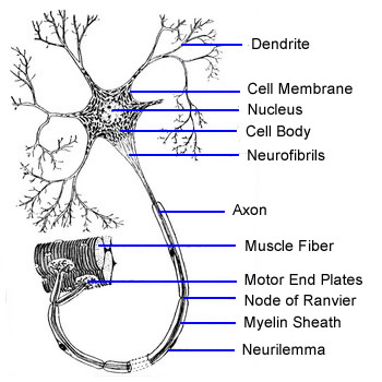Motor Neuron The School Of Biomedical Sciences Wiki