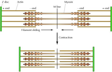 Sliding filament contraction of skeletal muscle