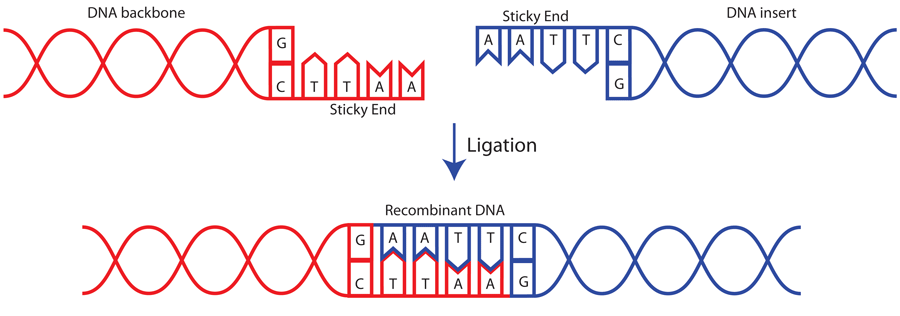 Image to demonstrate how DNA ligase catalyses the formation of phosphodiester bonds between sticky ends of DNA fragments to form a longer fragment of DNA