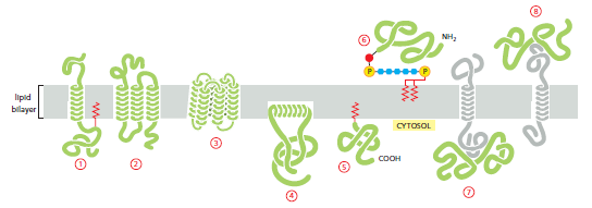Membrane proteins and lipid bilayer.png
