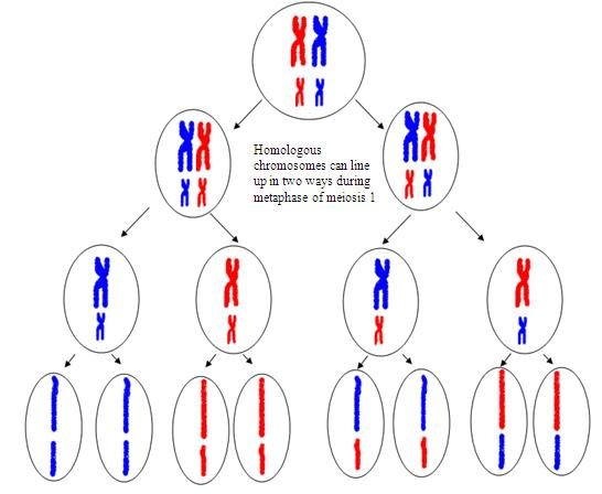 4 unique types of gamete possible due to the Principle of Independent Assortment of Meiosis I.