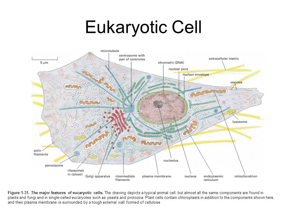 eukaryote the school of biomedical sciences wiki