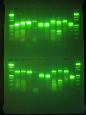 how to make gel electrophoresis