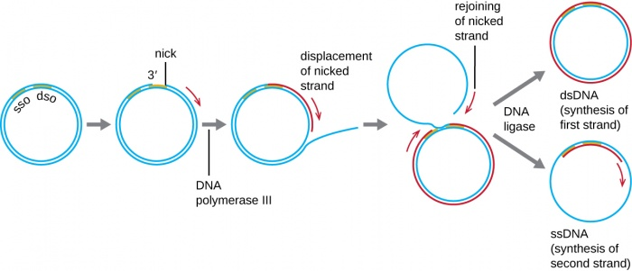 Mechanism of rolling circle replication in DNA