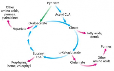Anabolic_properties_of_CAC.jpg