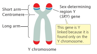 SRY Gene - The School of Biomedical Sciences Wiki