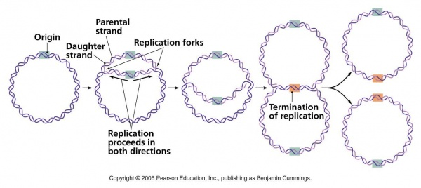 Replication of a circular bacterial chromosome